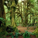 Hall-of-mosses--olympic-national-park-wallpaper_1600x1200
