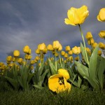 Yellow-tulips-wallpaper_1600x1200